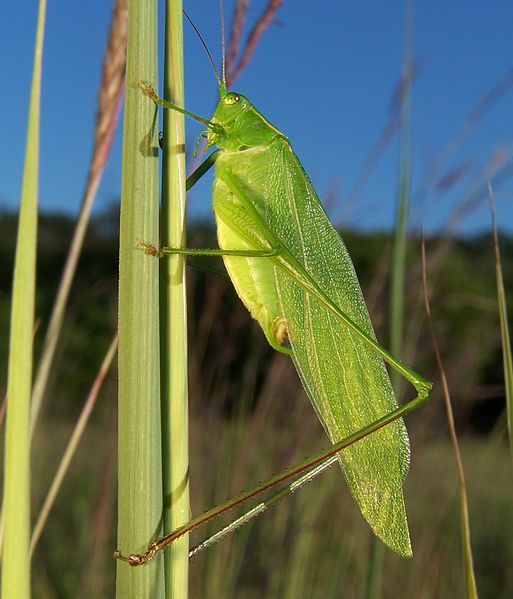 A male grasshopper. Photo released under Creative Commons License by Wikipedia user Bruce Marlin.