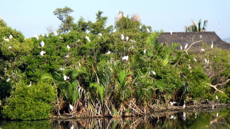 Great Egrets in a school fishpond in Zamboanga. Photo by Angela Colmenares-Sabino