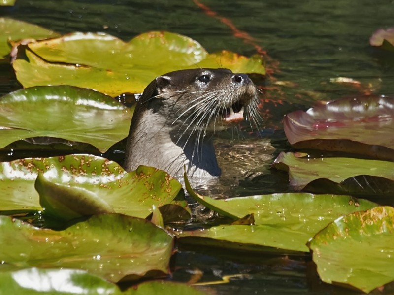 Eurasian otter. Photo by Flickr user David Cook. CC BY-NC 2.0