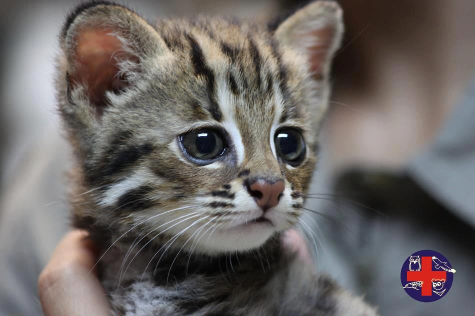 A small leopard cat. Photo is taken by the Wildlife First Aid Station and reprinted by leopardcatgo. CC BY-NC 2.0
