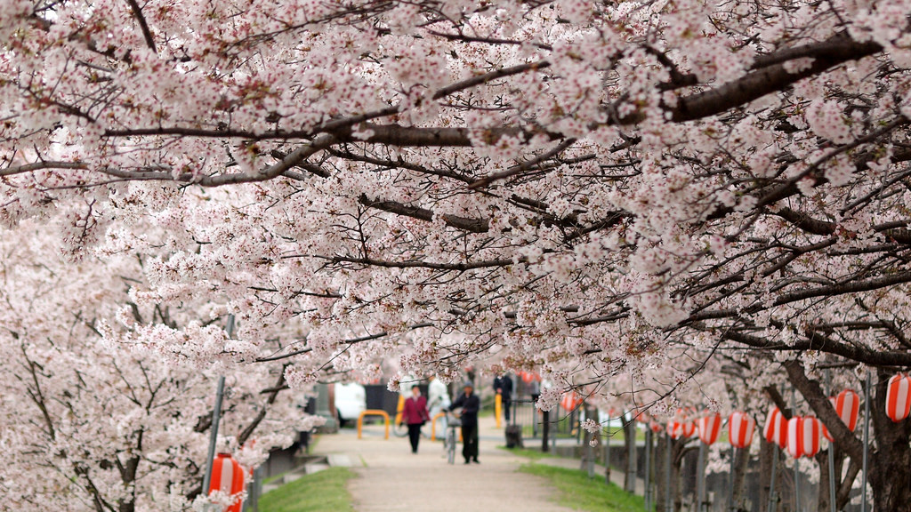 Walking underneath the full bloom of sakura can feel like walking through a floral tunnel. Photo taken April 5, 2014 by Flickr user coniferconifer. CC BY 2.0