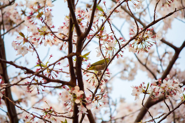 Flickr user y.ganden spotted a Japanese Bush Warbler in the blooming sakura trees. CC BY-NC 2.0