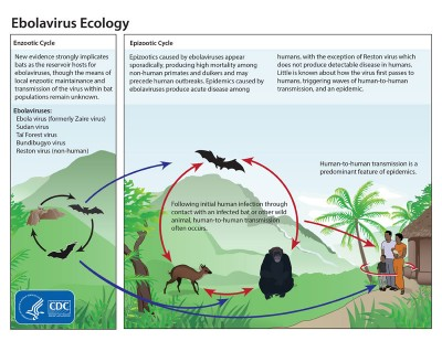The ecology of Ebola by the CDC - Public Domain