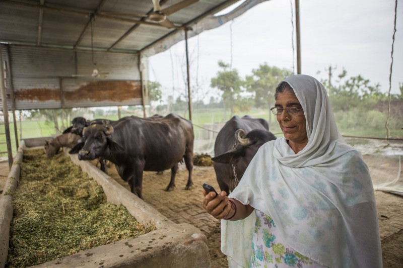 56 years old Kamla Devi listens to messages of weather and best climate friendly crop practices on her mobile phone while working in the cowshed at her home in Anjanthalli. Image by Prashanth Vishwanathan. Used with permission.