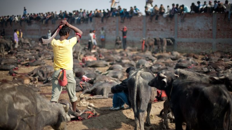Mass slaughter of animals dedicating the Hindu goddess of power, Gadhimai. Image by Koji. Copyright Demotix (23/11/2009)