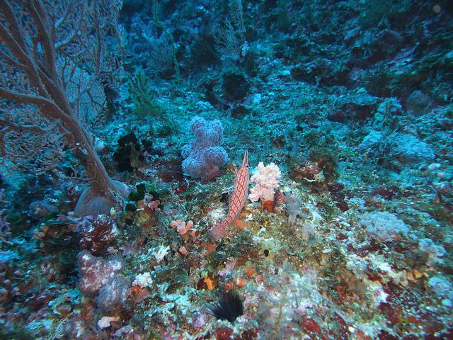 ogasawara coral poaching