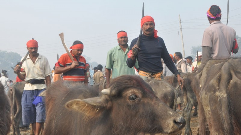Butchers ready to sacrifice water buffaloes at the Gadhimai festival in Nepal (C) Diwakar Bhandari