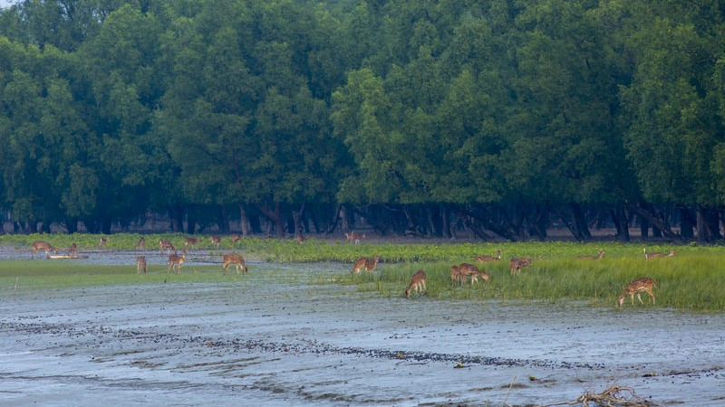 Spotted deers forage at the Kokilmoni forest in the Sundarbans, a UNESCO world heritage site. Bagerhat, Bangladesh. Image by Muhammad Mostafigur Rahman. Copyright Demotix (5/11/2014)