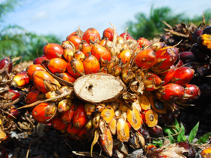 Oil palm fruits in Jambi, Indonesia. Photo by Iddy Farmer for Center for International Forestry Research (CIFOR). CC-BY-NC-SA 2.0