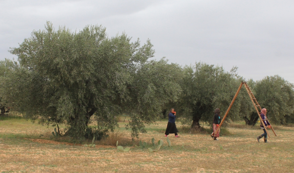 Workers harvest olives in one of Slama Huiles' groves last fall. Credit: Marine Olivesi. Published with PRI's permission