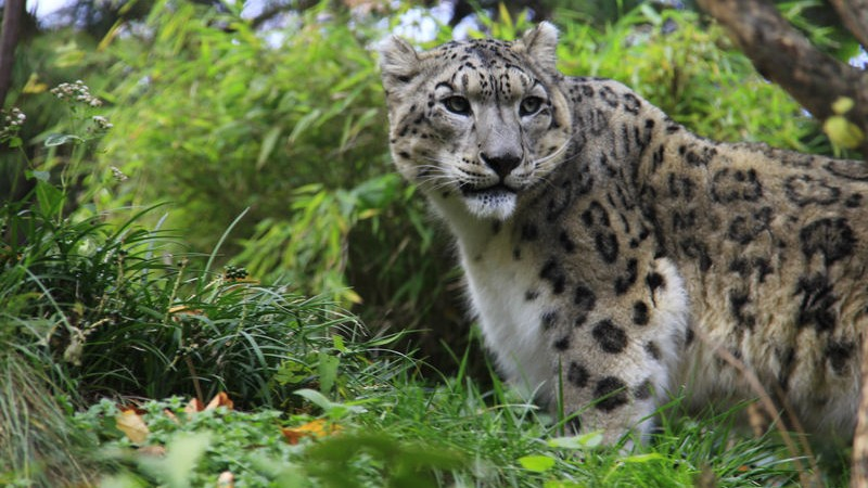 A baby snow leopard in New York's Central Park Zoo. Image by Linda Asparro. Copyright Demotix (10/11/2013)