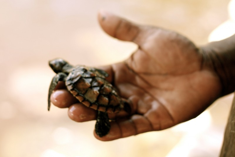 Baby sea turtle in Zanzibar. Photo by Flickr user missy. CC BY 2.0