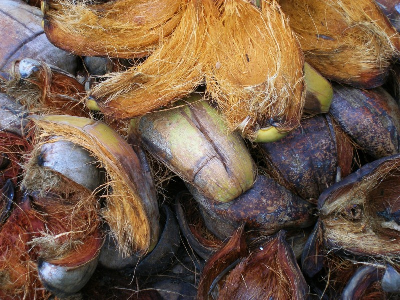 Coconut husks. Photo by Flickr user Dennis S. Hurd. CC BY-NC-ND 2.0