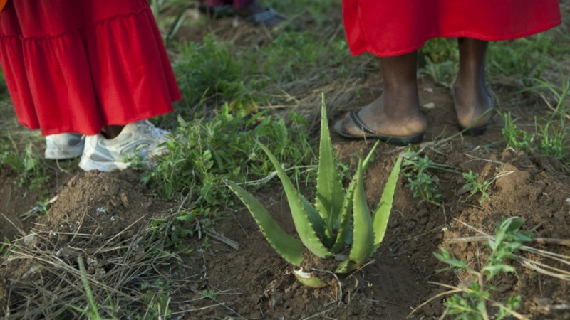 More than 140 Maasai women harvest aloe secundiflora leaves at the Twala Cultural Manyatta in Laikipia to export to LUSH cosmetics. Credit: Anne Bailey. Used with permission