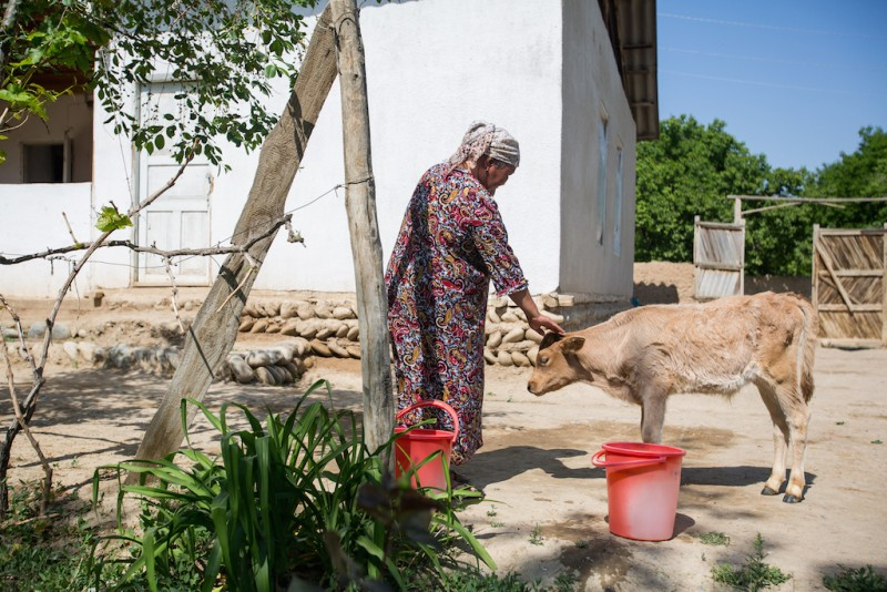 Tolokon, 53 years old, bought a calf with money sent by her daughter in Russia. Only one week after the birth, the calf's mother died. Karabag village, Batken oblast.