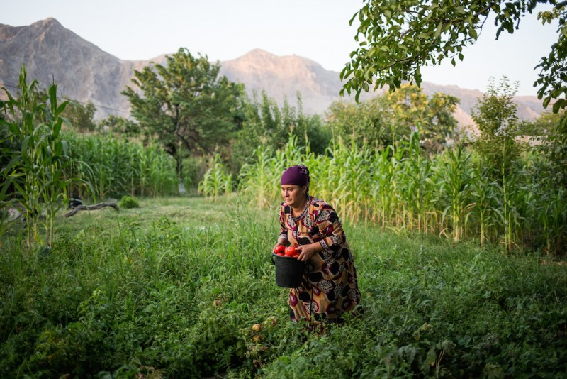 Mastura, the wife of a migrant worker who was imprisoned in Russia for three to five years for the unintentional death of a colleague on a construction site, picks tomatoes for extra money. Aravan rayon, Osh oblast.