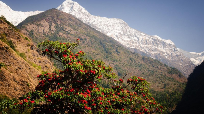 Rhododendron and Himalayas, Image from Flickr by Andrew Miller. Annapurna Sanctuary, Nepal . CC By-NC