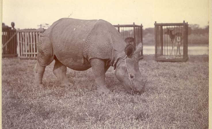 Tethered rhinoceros with caged deer in the background. Possibly part of the gift of a collection of animals indigenous to Nepal which the Maharaja had presented to the King George V. Image by The Australian National University Digital archives. From Public domain.