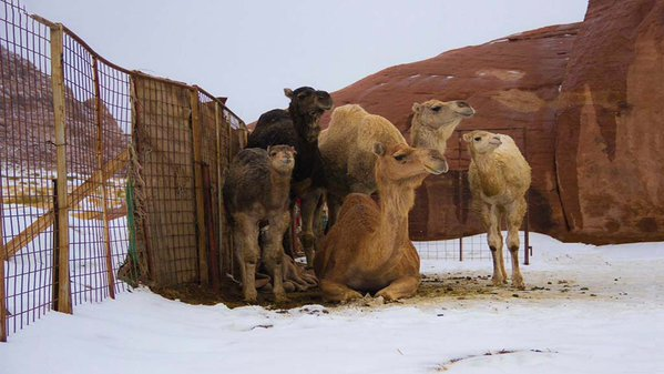 Saudi camels enjoying the snow in Tabouk, Saudi Arabia, tweets Aysha bint Abdulaziz (@ayosh70)