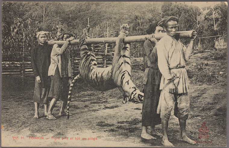 Tiger caught and killed in a trap. Photo from The New York Public Library Digital Collections. 1909
