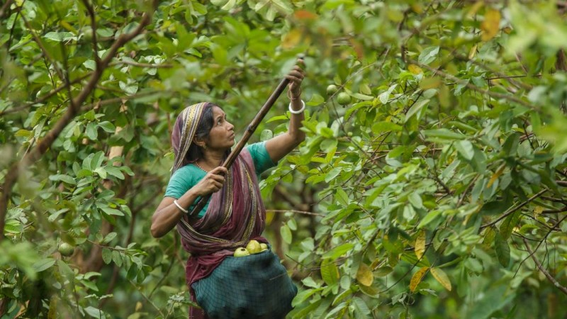 Collecting Guava from orchards. Vimruli, Jhalokathi, Bangladesh | 2015 © Md. Moyazzem Mostakim, Used with permission