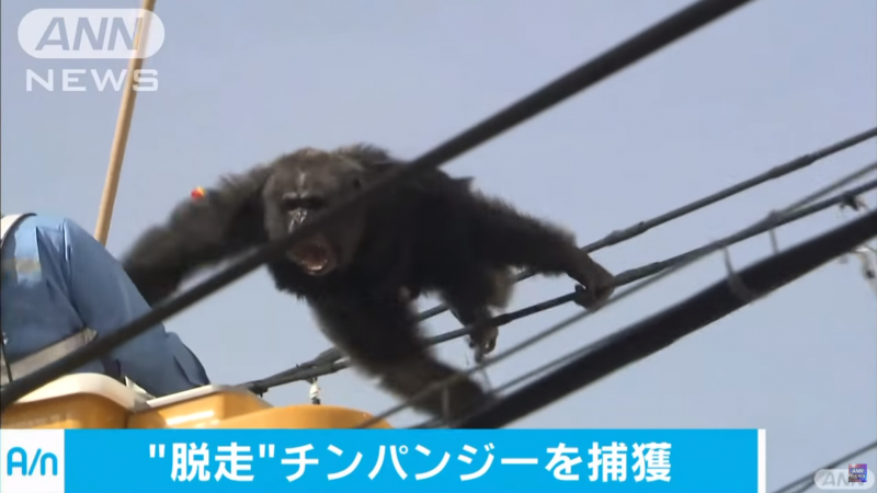 Japan's Angry Escaped Chimp Captivates Global Audience