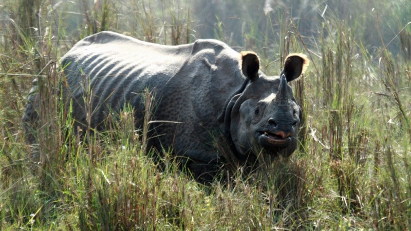 Greater One-horned Rhinoceros at Chitwan National Park, Nepal. Image from Flickr by GrahamC57. CC BY-NC-ND 2.0