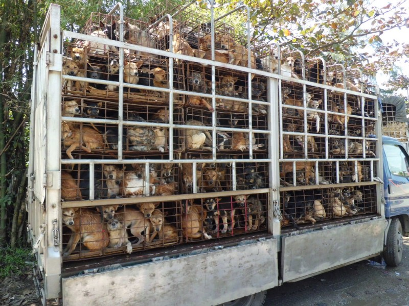 Photo of dogs on truck in Vietnam by Animals Asia. Source: Flickr, CC License