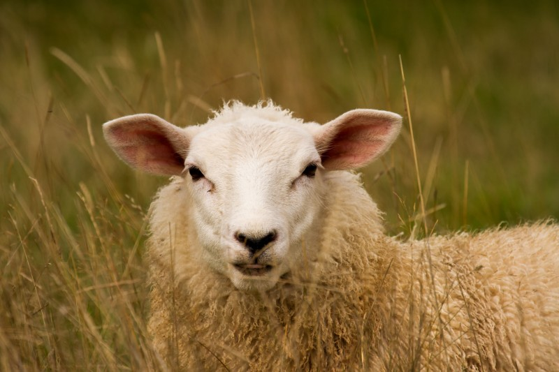 Sheep in the long grass. Wikipedia image.