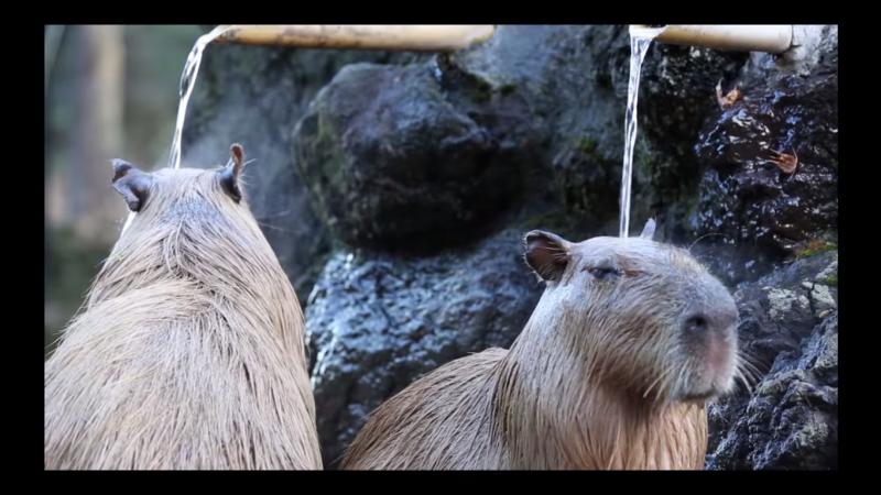 capybara japan