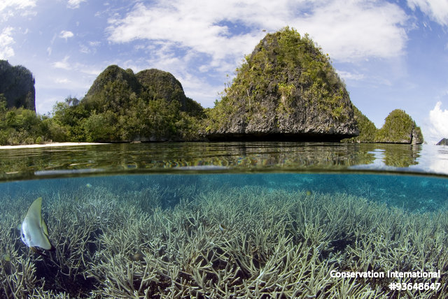 Pristine reef of staghorn coral with juvenile batfish in Wayag Lagoon, Raja Ampat. Photo by Sterling Zumbrunn. Courtesy of Conservation International