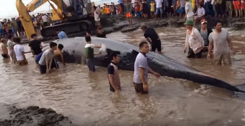 Screenshot of a YouTube video of residents trying to rescue a stranded whale at Di?n Th?nh's shore in Vietnam.