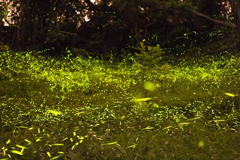 Fireflies / ホタル