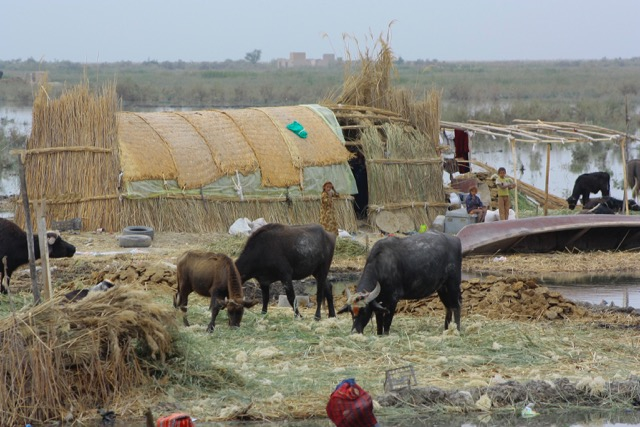 Inhabitants of the marshes - known as the Ma'dan - share the floating islands where they build reed houses with domesticated water buffalo, usually a household's most valuable possession. Bufallo milk, a staple of the diet here, is also boiled over reed fires and turned into a thick cream to be sold. Credit: Jane Arraf