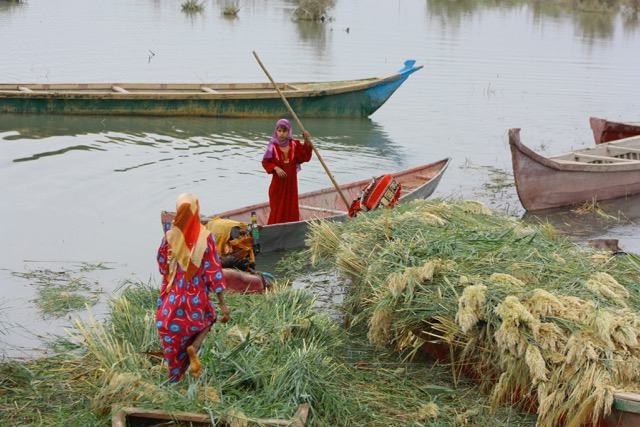 Women gather reeds in Iraq's southern marshlands. Most people have added outboard motors to the traditional boats but there are few other conveniences here. Most are without electricity and there are few schools or clinics. Credit: Jane Arraf