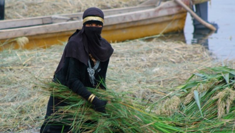 A woman in Iraq's southern marshes gathering reeds. The flexible reeds are used to build arched reed houses in a design unchanged for thousands of years as well as burned for fuel. While men in the marshes fish, women and girls do most of the manual labor including cutting and transporting the reeds. Credit: Jane Arraf