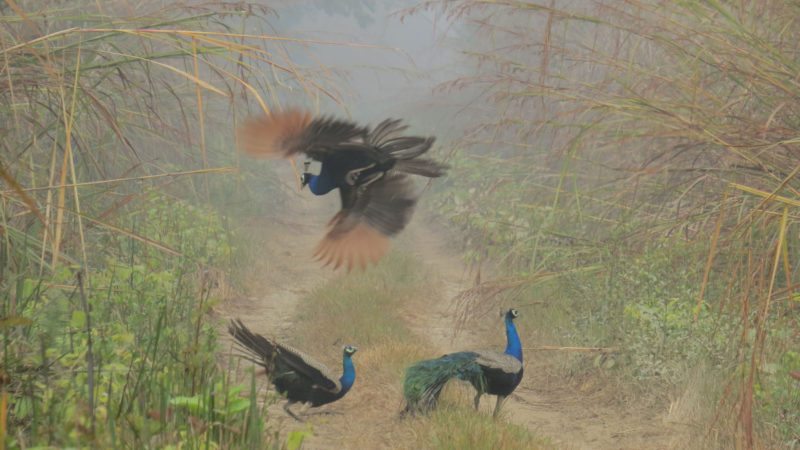 Peacocks in the Chitwan National Park. 1st in the category nature and wildlife. Image by Ramesh Kumar Poudel. Used with permission.