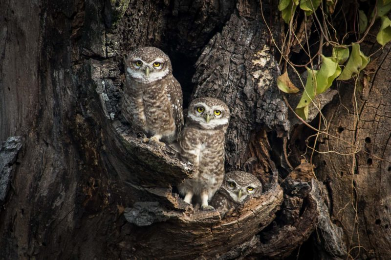 Owls are spotted sitting in hollow nest.3rd in the category nature and wildlife. Image by Bikash Khadge. Used with permission.