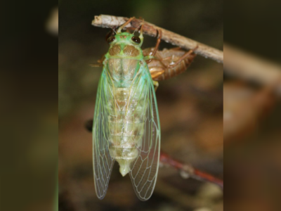 The Summer Season Brings an Orchestra of Cicadas to Japan
