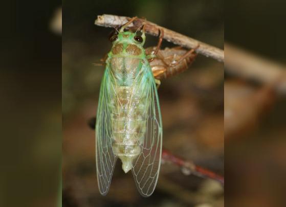 Higurashi cicada