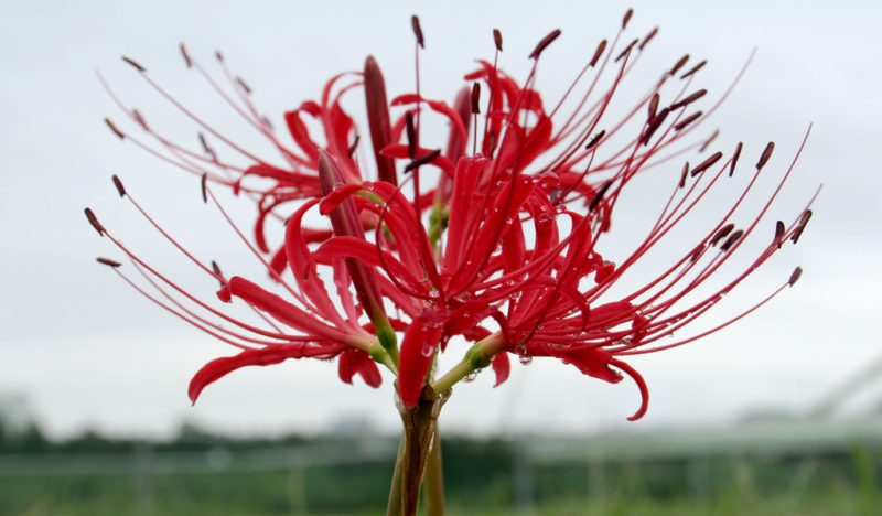 Higanbana (Red spider lily, Lycoris radiata)