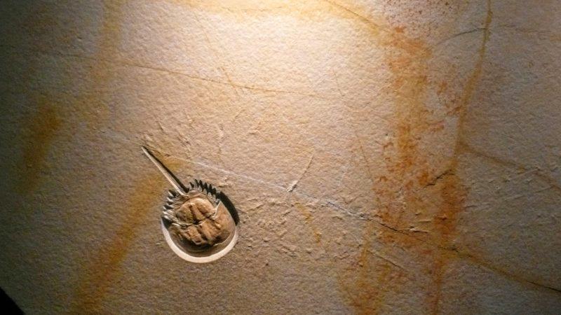 fossilized horseshoe crab