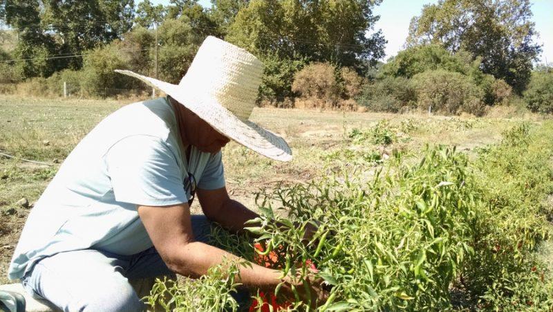 Menkir Tamrath recoge pimientos en su huerta para mezclas de especias. Dice que cuando era niño en Etiopia, su padre nunca ponía un pie en la cocina. Crédito: Meradith Hoddinott