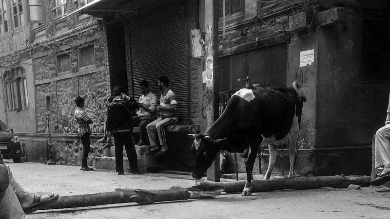Корова местного молочника переходит ограждение. Фото сделано отцом автора.