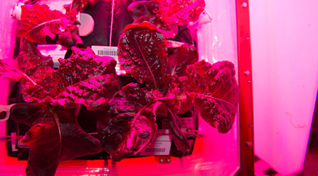 "Astronauts on the International Space Station grew and ate Outredgeous red romaine lettuce in the station's ""Veggie"" system, a test kitchen for growing plants in space. Photo by NASA"