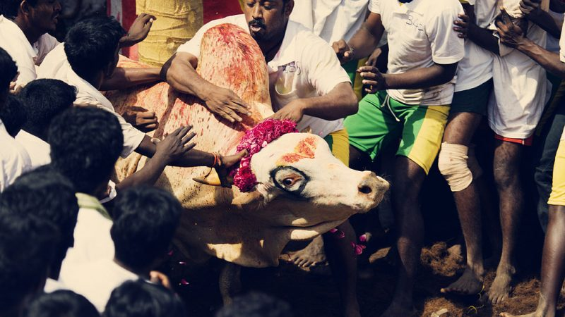 Man Versus Bull - The Jallikattu Sport. Image from Flickr by Vinoth Chandar. CC BY 2.0