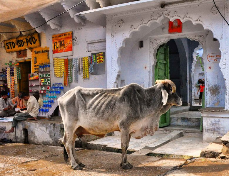 The cow is, quite possibly, the most talked about animal in India. Image from Flickr by Rod Waddington. CC BY-SA 2.0