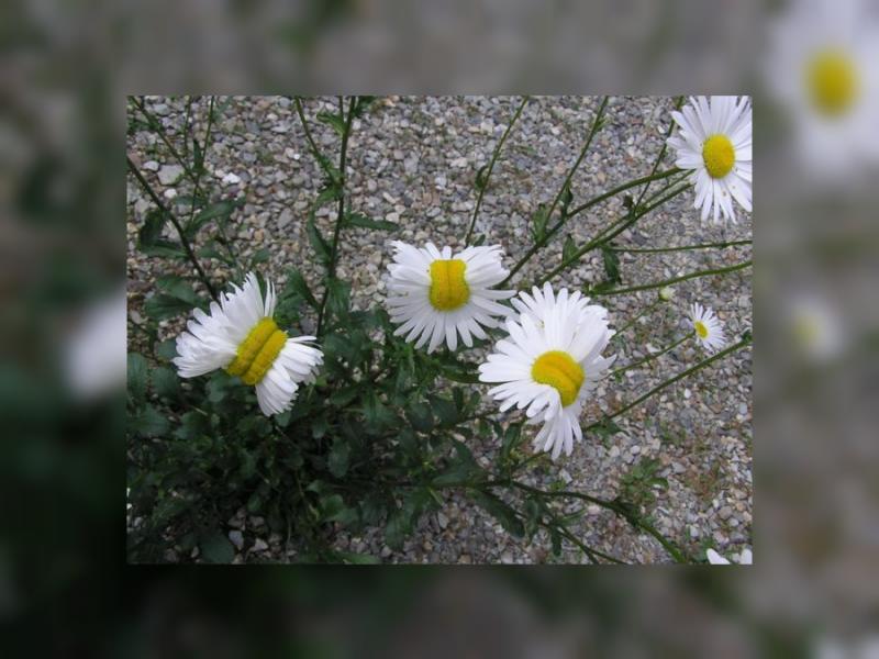 fukushima daisies