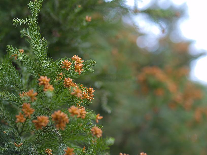 Cedar pollen.