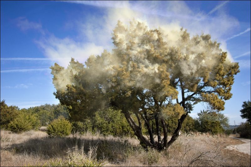 A cedar tree releases clouds of allergy inducing pollen.